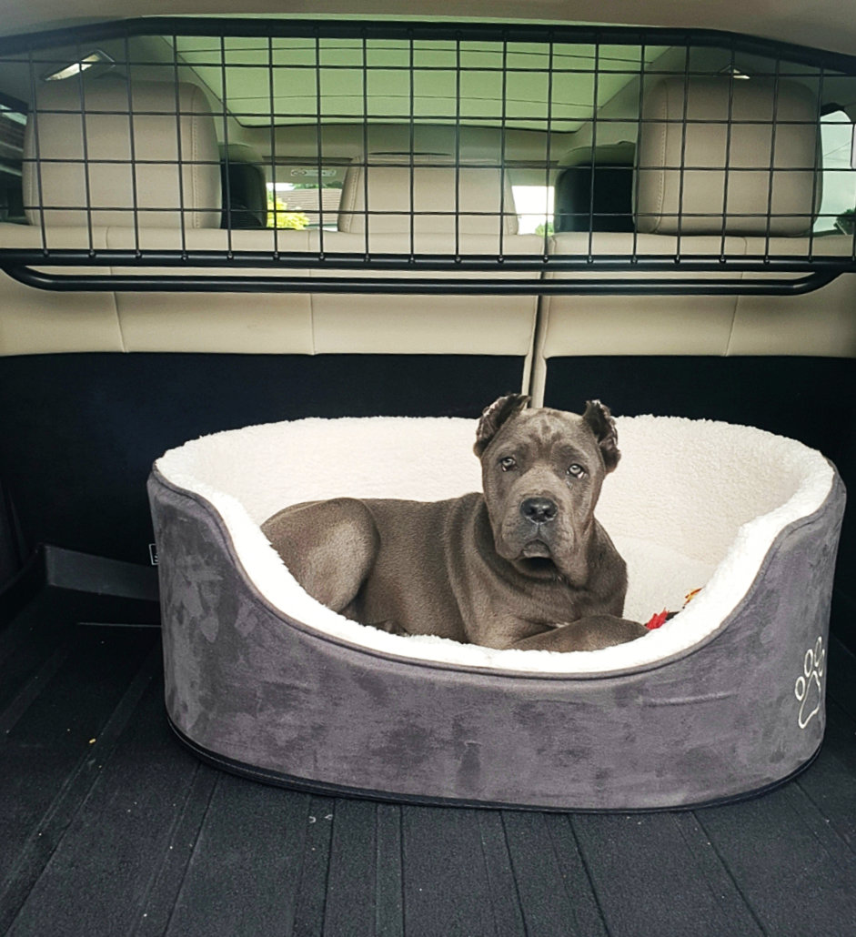 Cane Corso in the car